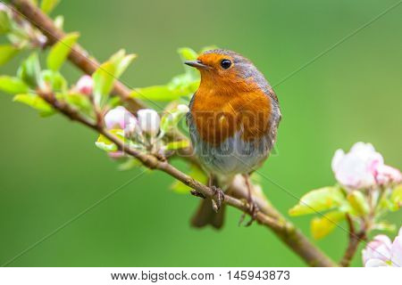 Robin On A Branch With White Flowers