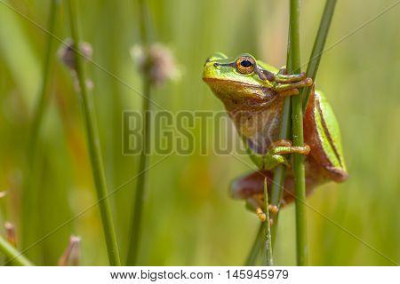 Climbing Green European Tree Frog En Profile