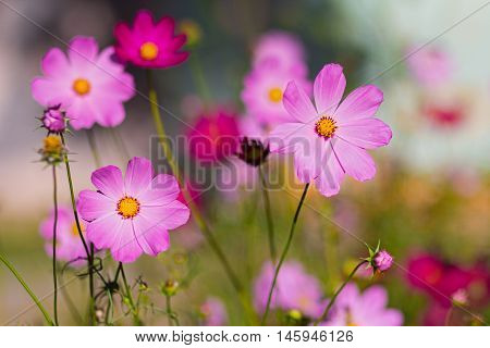 Cosmos pink on a meadow close up. Flowers and gardens
