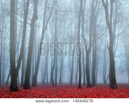 Autumn nature. Autumn landscape with autumn trees and red dry fallen leaves. Autumn foggy nature - park in dense autumn fog. Autumn deserted park in foggy autumn weather - colorful autumn landscape.