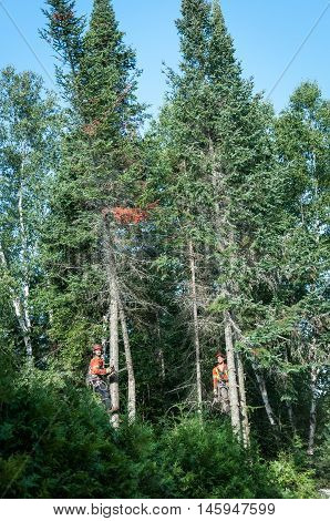 Quebec Canada - August 5 2016 : Professional lumberjacks cutting tree on the top with a chainsaw in Quebec country Canada - serial pictures