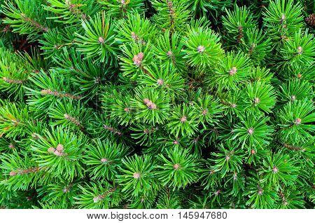 Mountain Pine - natural closeup view. Bright green Dwarf Mountain Pine. Dwarf conifer pine tree - closeup view.