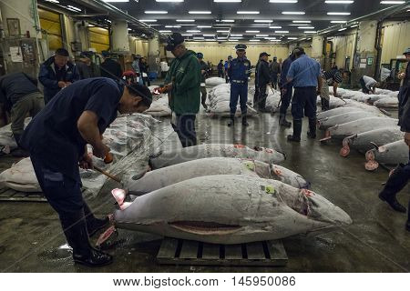 TOKYO, JAPAN - JUNE 13, 2016: A buyer inspects a tuna at the Tsukiji tuna auction. Tsukiji is the biggest fish market in the world.