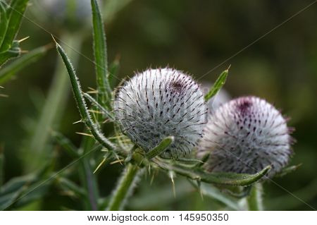 Blossom of the woolly thistle (Cirsium eriophorum)