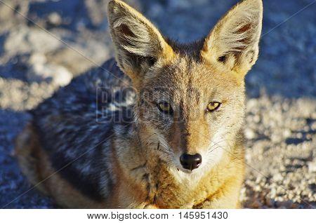 Wild Animals Of Africa: The Jackal