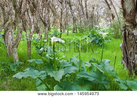 Lush, green Bibra Lake nature reserve area with wild calla lily flowering plants in the paperbark treed landscape in Western Australia.