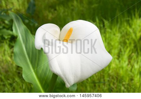 White calla lily flower blossom and large green leaf growing wild in natural bushland reserve in Bibra Lake, Western Australia.