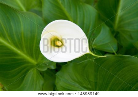 View from above of delicate heart-shaped white calla lily wildflower with bright green leaves in Western Australia.