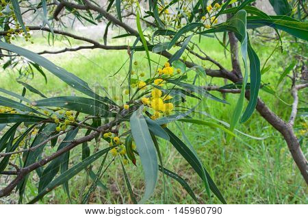 Bright yellow acacia, or golden wattle, growing wild in natural bushland reserve in Bibra Lake, Western Australia.