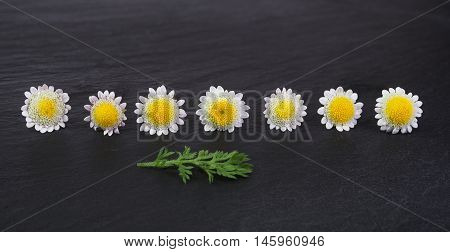 group of small daisy or chamomile flowers on black stone background