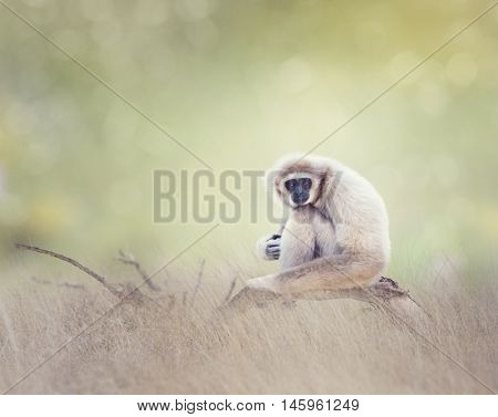Portrait of White-handed gibbon(Hylobates lar) sitting on a branch