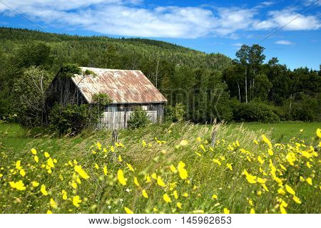Little shed in a meadow full of yellow flowers