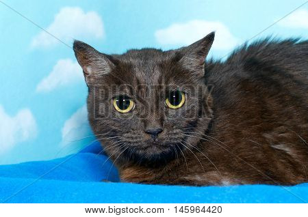 Black and brown Bengal cat crouched down on blue blanket pupils fully dilated looking slightly to viewers right. Blue background sky with clouds.