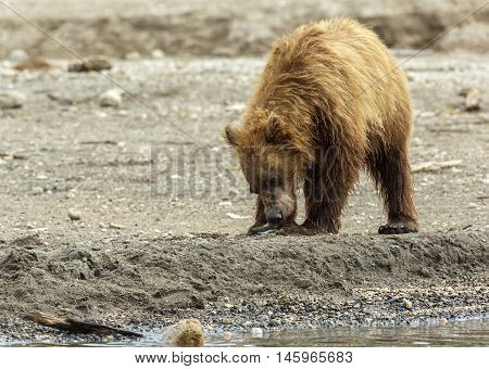Brown bear eating fish seized from the mother. Kurile Lake in Southern Kamchatka Wildlife Refuge in Russia.