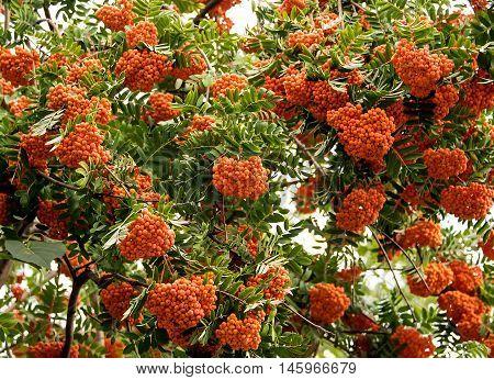 rowan tree rowanberry juicy, aucuparia, freshness  fruit