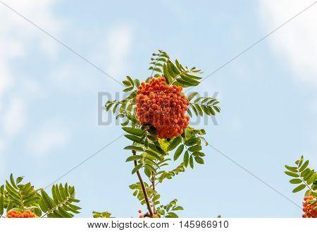 rowan tree summer nutrition, branch, wild, nature