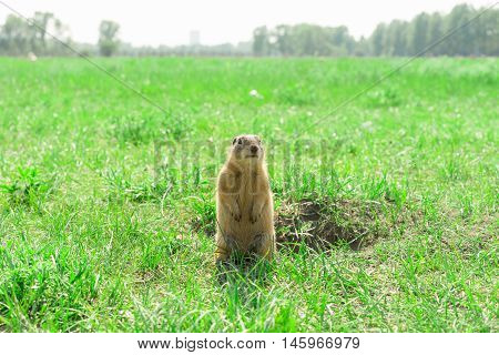 Gopher standing and starring near the burrow on meadow