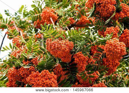 rowan tree organic, european, sunny, orange, summer