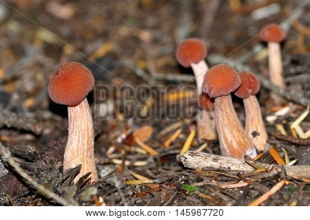 Laccaria sp. mushrooms in the forest in Mount Rainier National Park