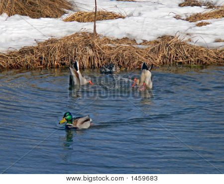 Wild Ducks (Spot-Billed Duck) (Anas Poecilorhyncha) 3