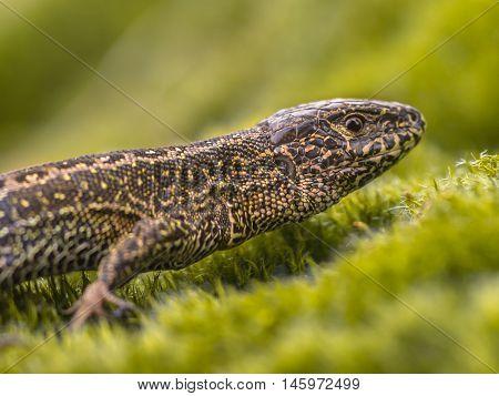 Wild Sand Lizard Close Up