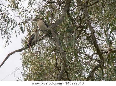 Two blue-winged kookaburra birds perched on tree branch under an overcast sky in nature reserve in Bibra Lake, Western Australia.