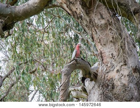 Pink and grey galah parrot perched on thick tree branch in Western Australia nature setting.
