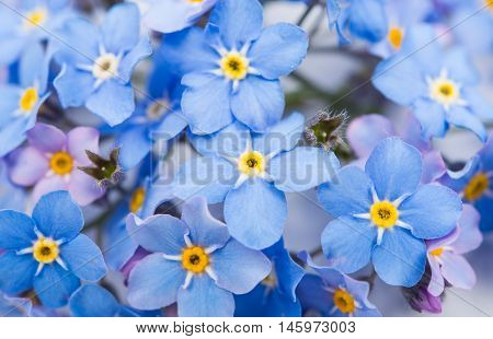 me-nots blue  flowers on a white background
