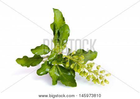 Basil Leaf Isolated On White