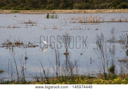 Lone white heron wading in the wetland lake waters in Bibra Lake, Western Australia.