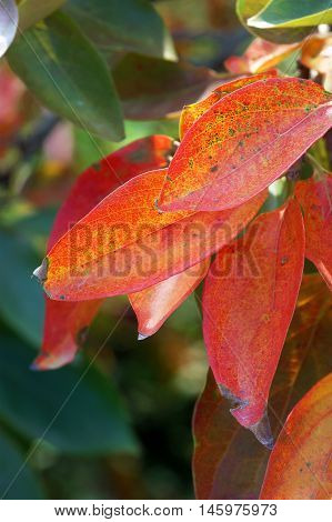 Red autumn leaves on the persimmon tree