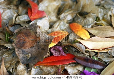 Motley autumn leaves, yellowed with trees underfoot