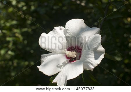 White hibiscus blossom closeup as floral background