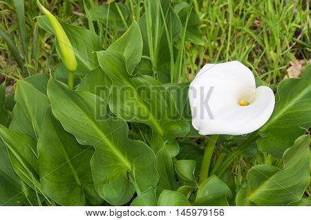 Heart-shaped calla lily with lush foliage growing uncultivated in bushland reserve in Bibra Lake, Western Australia.