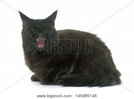 angry maine coon cat in front iof white background