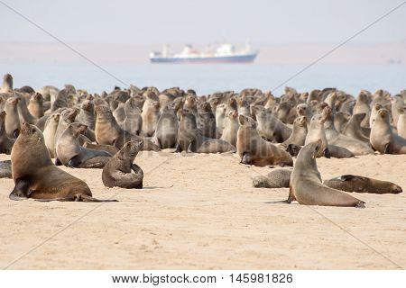 Cape Fur Seals At Pelican Point