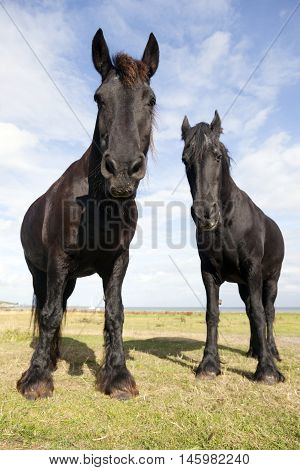 two black horses in meadow on the island of vlieland in the netherlands look down
