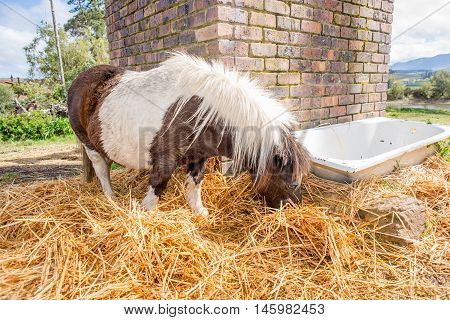 Pony Eating Hay In The Camp