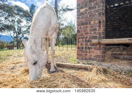 A white horse feeds on hay outside the stables on a bright spring day.