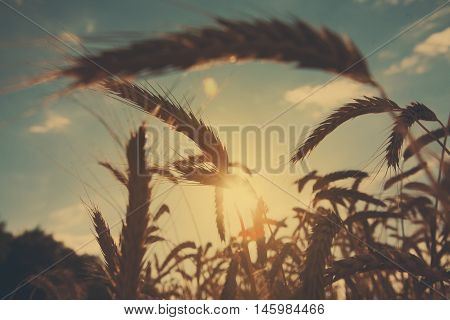 Golden wheat ear closeup on evening field and blue sky background. Harvest and farming concept. Agricultural business. Backlight image, dark soft toning