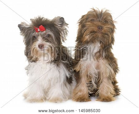 two puppies yorkshire terrier in front of white background