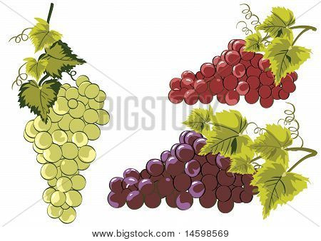 Grapes In Vines Vector