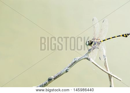 Dragonfly caught on a branch above the water surface in evening sun