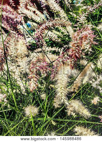 closeup of white pampas grass in the garden