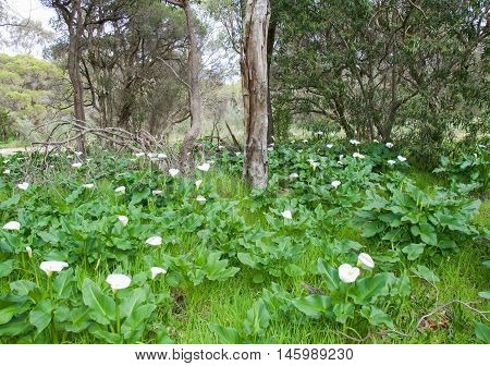 Wild calla lilies with heart-shaped white blossoms in lush foliage with paperbark trees in Bibra Lake, Western Australia