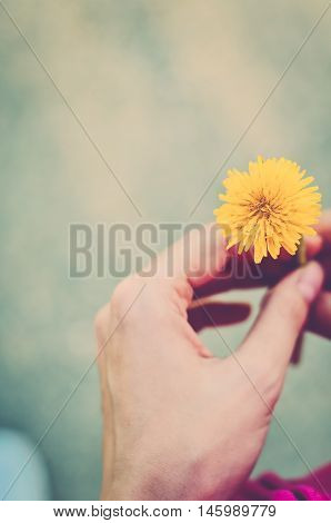 Yellow dandelion in a female hand (vintage)
