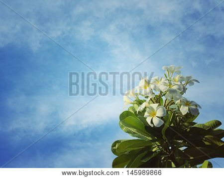 Soft focus Plumeria flowers white with green leaves and blue sky retro tone background. Blurred Frangipani with green leaf. Plumeria and blue sky.