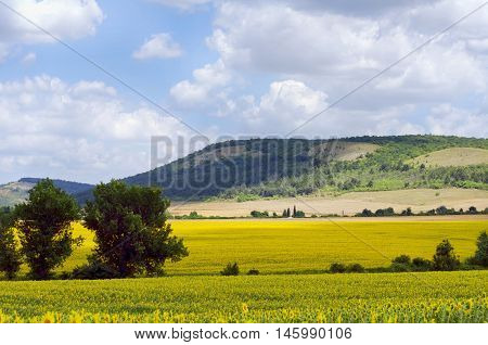 Bright Yellow Sunflower Field Over Blue Cloudy Sky