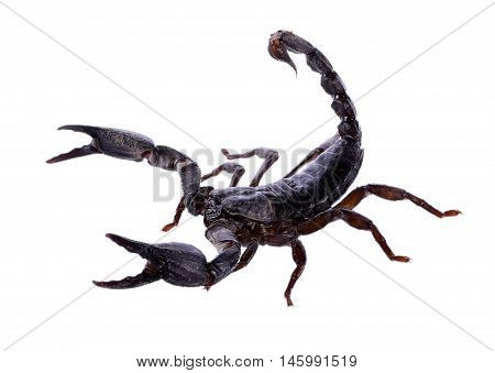Closeup Scorpion isolated on white background. food