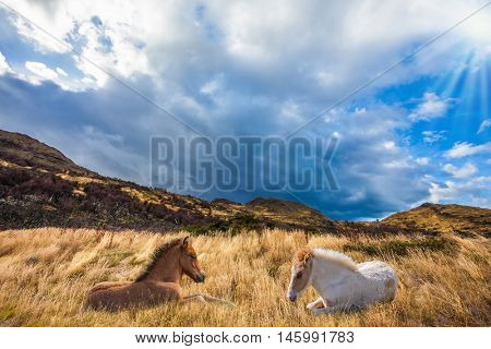 Two horses resting in yellow grass. Chile, Patagonia, Torres del Paine National Park - Biosphere Reserve